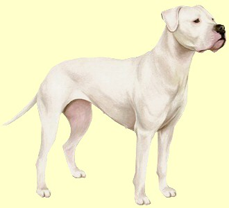 Dogo Argentino - Fell 55