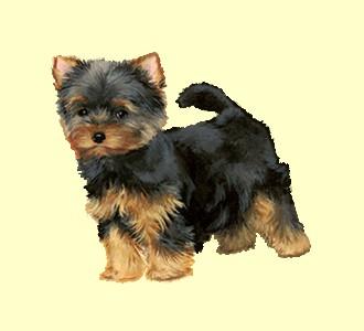 Einen Hund von der Rasse yorkshire terrier aufnehmen