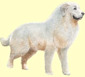 Pyrenäenberghund - Fell 7