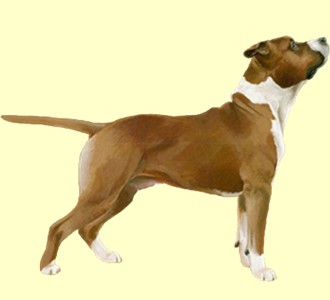 American Staffordshire Terrier - Fell 17