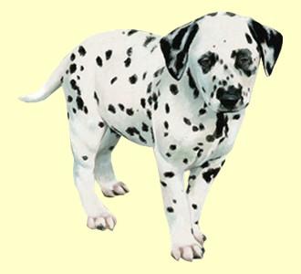 Dalmatiner - Fell 35