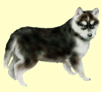 Einen Hund von der Rasse husky aufnehmen