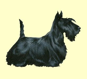 Scottish Terrier - Fell 51