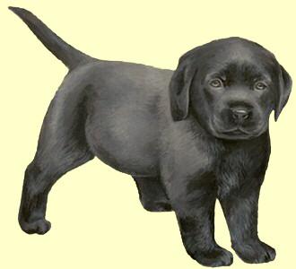 Einen Hund von der Rasse labrador aufnehmen