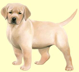 Labrador - Fell 54