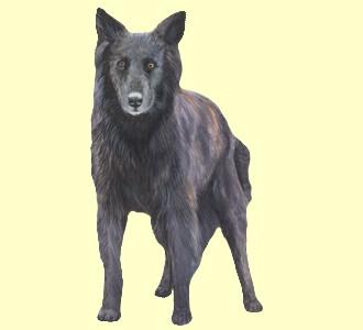 Holländischer Schäferhund - Fell 51